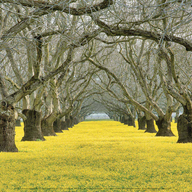 Walnut Orchard, California, Dennis FRATES
