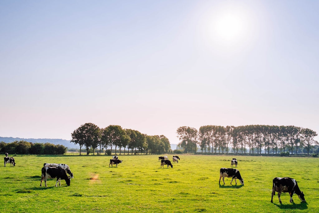 Is grass-fed beef healthier for you: Cows grazing in a field