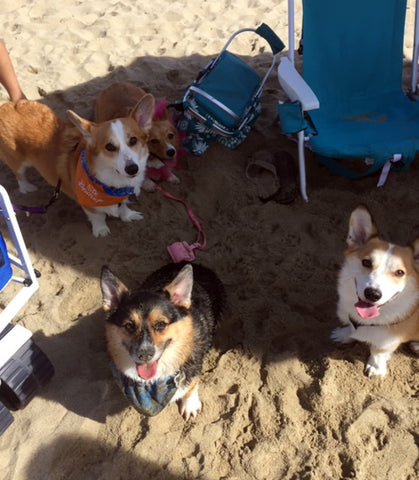 Corgi beach party!
