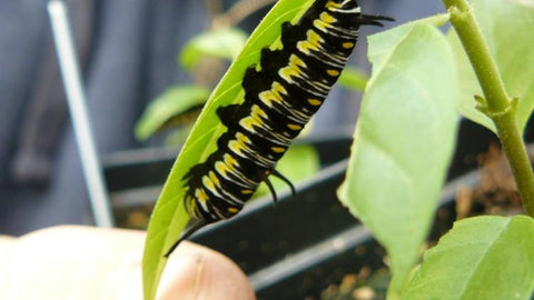 Jay Beard, of Lone Star Nursery, holds a milkweed plant with a caterpillar, which will one day become a monarch butterfly.