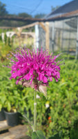 BEE BALM 'Panorama Mix' --Monarda didyma--
