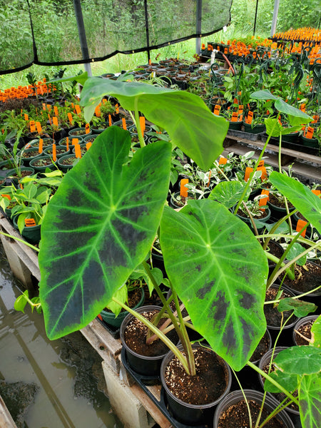 ELEPHANT EAR 'Black Beauty' --Colocasia antiquorum--