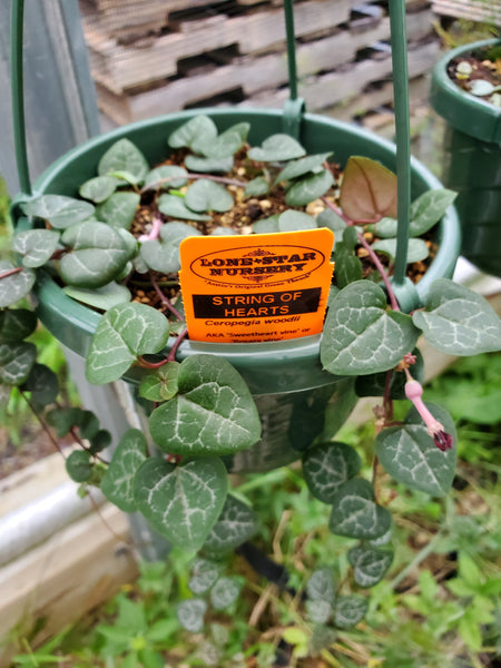 STRING OF HEARTS --Ceropegia woodii--