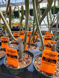 RED TIP TAPE TREE --Euphorbia enterophora 'Crassa'--