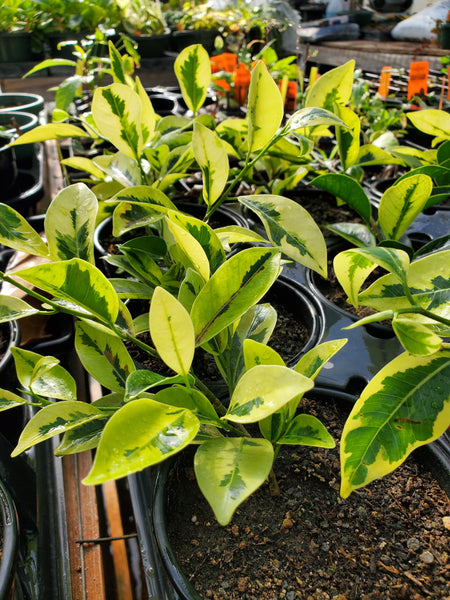 FIG 'Variegated Laurel' --Ficus retusa-nitida 'Variegata'--