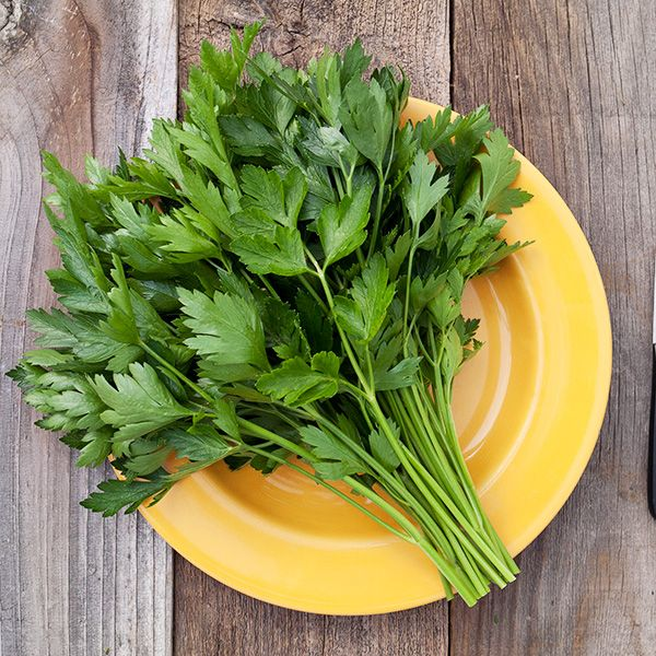 PARSLEY 'Italian Flat Leaf' --Petroselinum crispum--