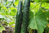 CUCUMBER 'Suyo Long'