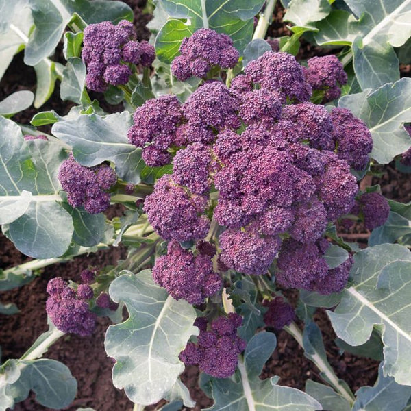 BROCCOLI 'Burgundy Sprouting'