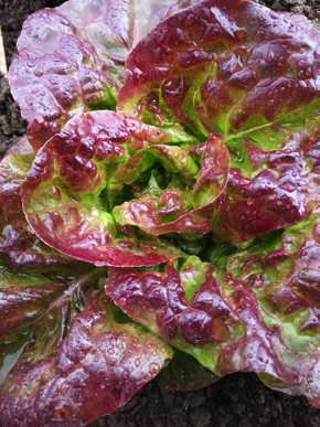 LETTUCE 'Better Devil'