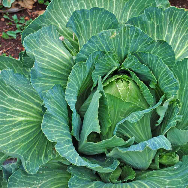 CABBAGE 'Early Jersey Wakefield'
