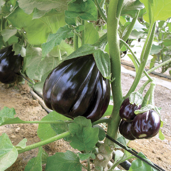 EGGPLANT 'Black Beauty'