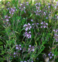 THYME 'English' --Thymus vulgaris--