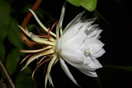 NIGHT-BLOOMING CEREUS --Epiphyllum oxypetalum 'Queen of the Night'--