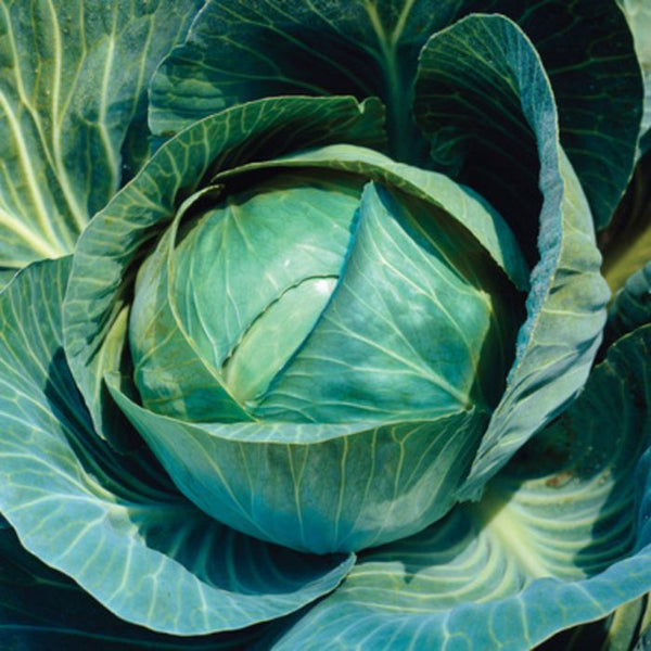 CABBAGE 'Farao'
