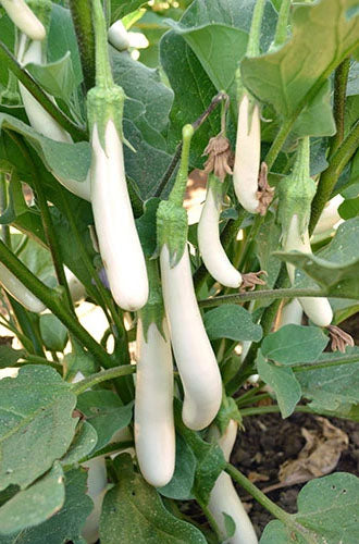 EGGPLANT 'Finger Fruit White'