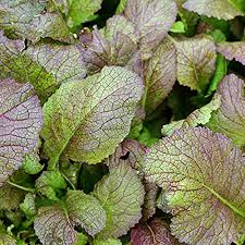 MUSTARD GREENS 'Red Giant'