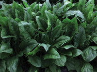 SPINACH 'Oceanside'