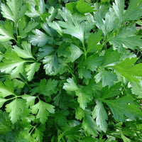 PARSLEY 'Giant Italian' --Petroselinum crispum--