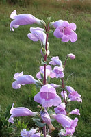 PENSTEMON 'Large-Flowered' --Penstemon grandiflorus--