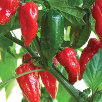 PEPPER 'Bhut Jolokia Ghost'