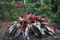 PRAYER PLANT 'Tricolor' --Stromanthe sanguinea 'Triostar'--