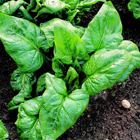 SPINACH 'Palco'