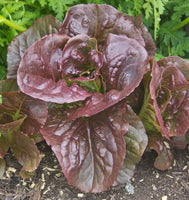 LETTUCE 'Pomegranate Crunch'