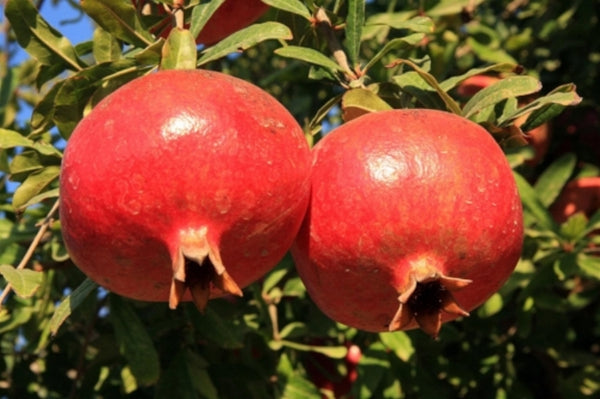 POMEGRANATE 'Iranian Red' --Punica granatum 'Iranian'--