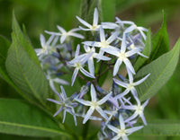BLUE STAR 'Ozark' --Amsonia illustris--