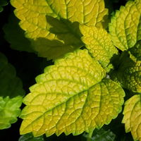 LEMON BALM 'Gold Leaf' --Melissa officinalis--
