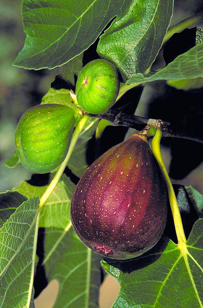 FIG 'Vern's Brown Turkey' --Ficus carica--