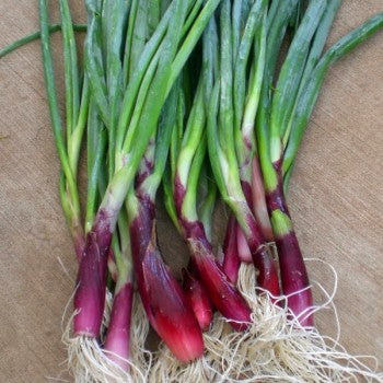 ONION 'Red Welsh' --Allium fistulosum--