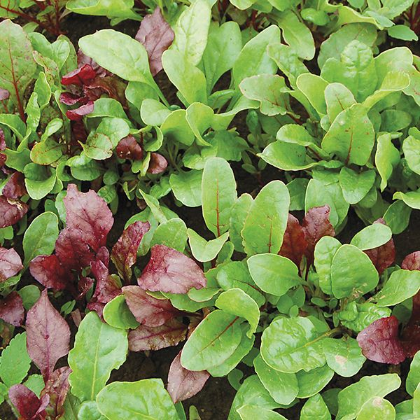 GREENS 'Beta Blend Beet 'n Chard'