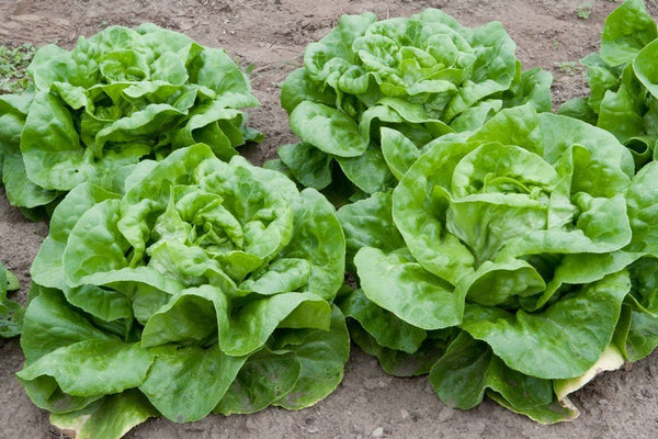 LETTUCE 'Buttercrunch'