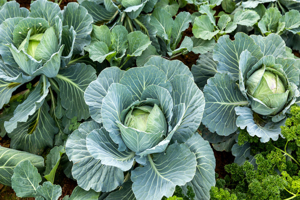 CABBAGE 'All Seasons'
