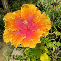 HIBISCUS 'The Path' --Hibiscus sinensis--