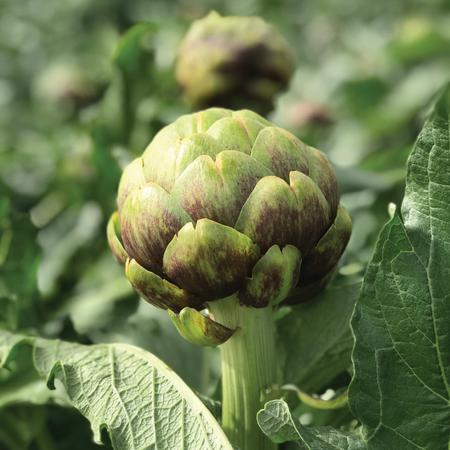 ARTICHOKE 'Imperial Star Purple'