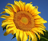SUNFLOWER 'Mammoth' --Helianthus annuus--