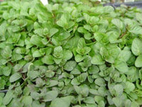 MINT 'Orange' --Mentha piperita 'Citrata'--