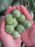 BRUSSELS SPROUT 'Hestia'