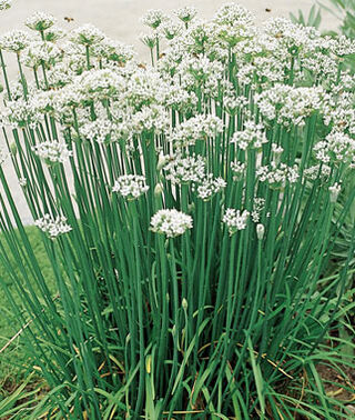 CHIVES 'Garlic' --Allium tuberosum--