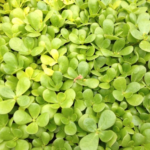 PURSLANE 'Golden'