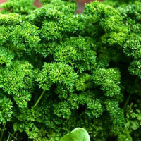 PARSLEY 'Krausa' --Petroselinum crispum--