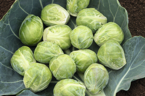 BRUSSELS SPROUT 'Speedia'