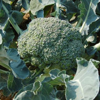 BROCCOLI 'Waltham 29'