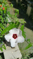 ROCK ROSE 'Brazilian' --Pavonia hastata--
