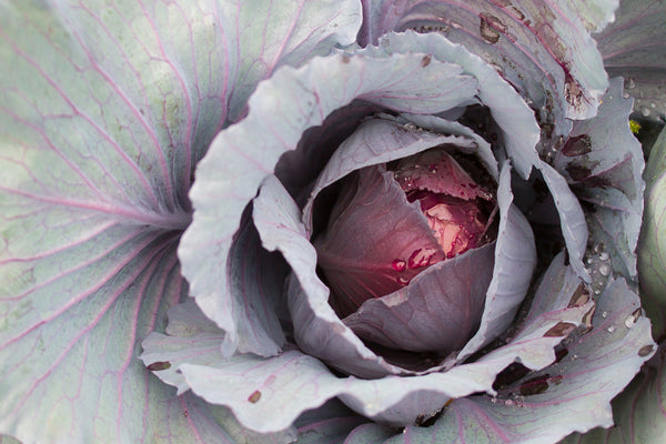 CABBAGE 'Ruby Perfection'