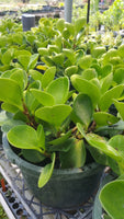 a large group of lush peperomia plants with geen oval leaves