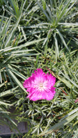 Pink ruffled dianthus feather against gray-green spikey foliage.