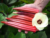 A person's hand holding 5 bright red okra and a large cream okra flower